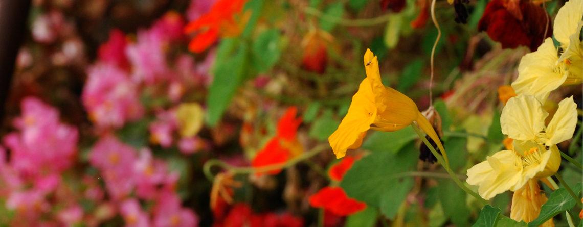 Conserva flores comestibles